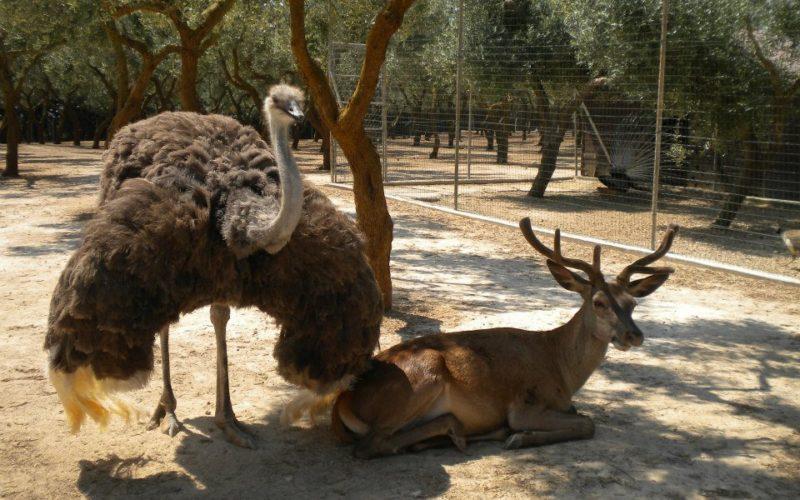 Mini-Zoo_ostrich and deer