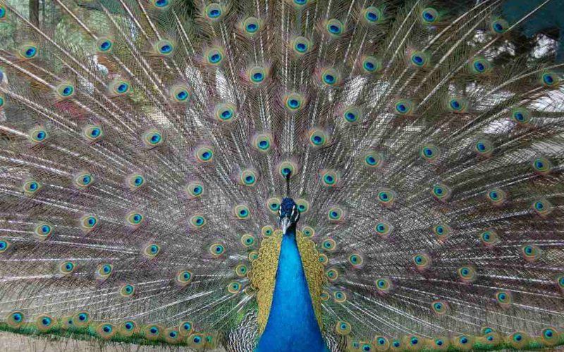 Peacock_ LaFattoria