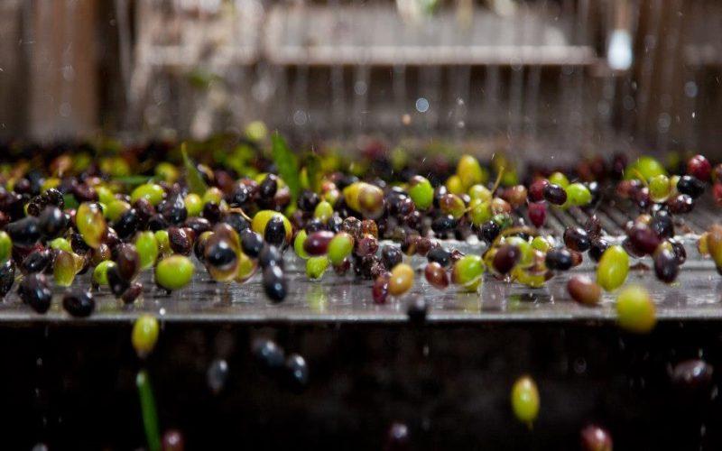 olives_olive oil production